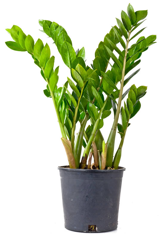 Zamioculcas zamiifolia stuen tv for Plante zanzibar